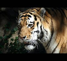 tiger 06 by Kittin