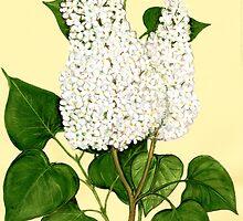 Lilac - Syringa vulgaris forma alba by Sue Abonyi