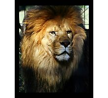 lion 01 Photographic Print