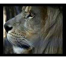 lion 02 Photographic Print