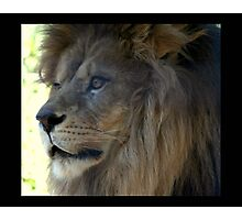 lion 06 Photographic Print