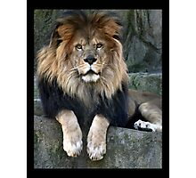 lion 08 Photographic Print