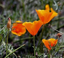 Bee looking for lunch from the Poppies by Robin Fortin IPA
