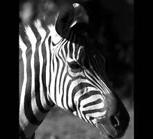 zebra 02 by Kittin
