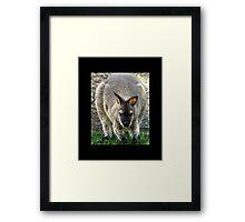 kangaroo 01 Framed Print