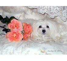 Snowdrop the Maltese & Roses Photographic Print