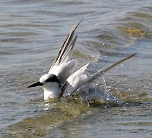 Tern Bathing by Sam Hanie