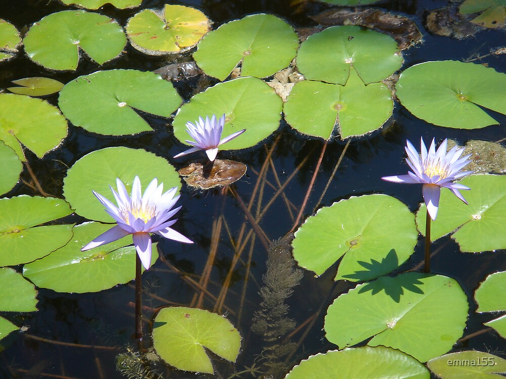 Lilies in Pond 2 by emma155