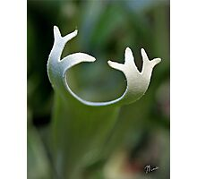 Staghorn Fern Photographic Print