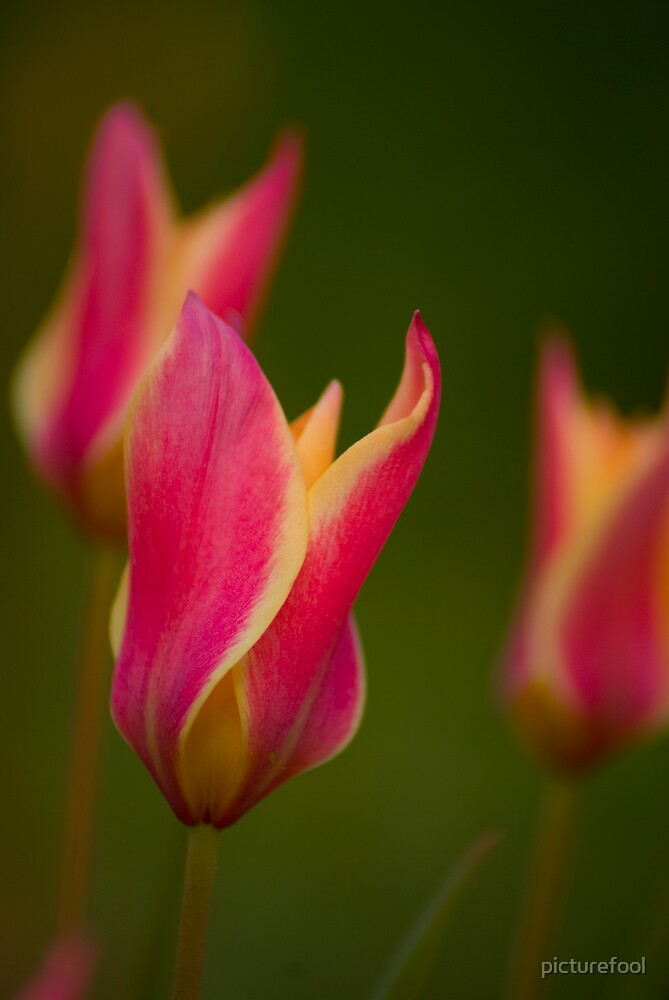 Tiny Tulips by picturefool
