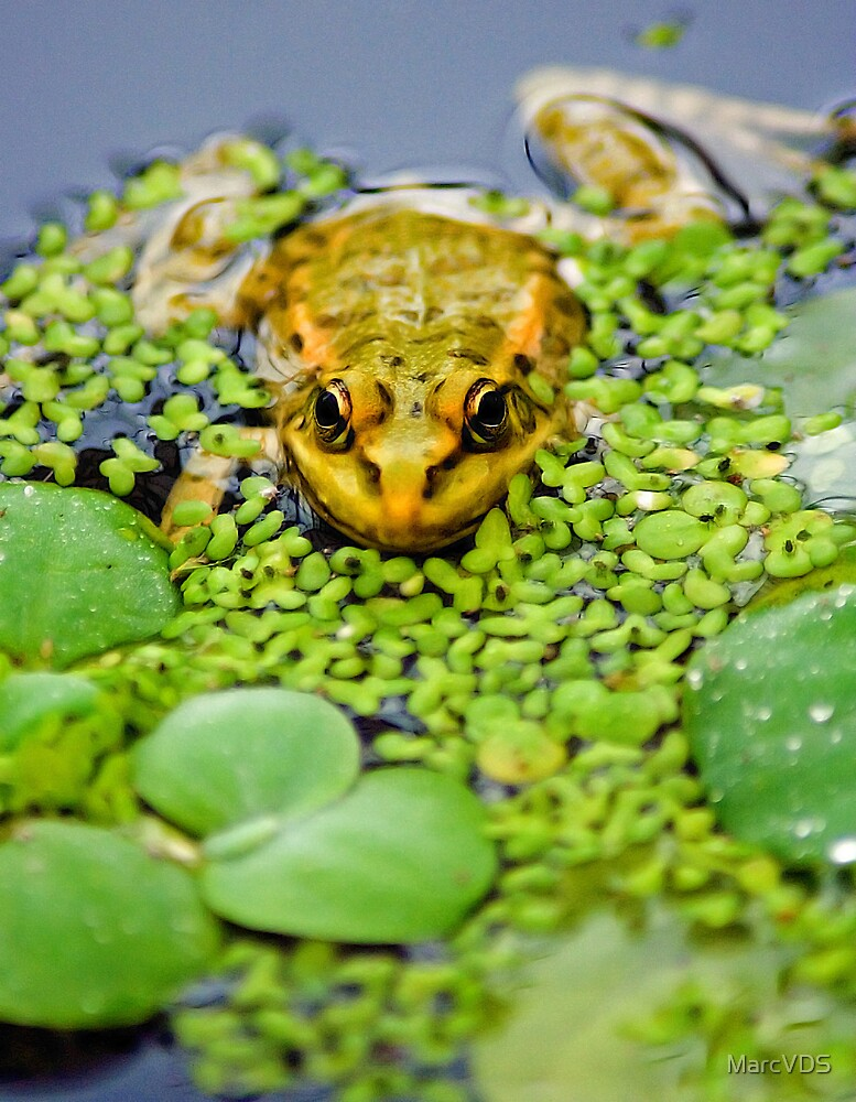 Green Frog by MarcVDS
