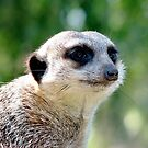Suricate on a watch by Alexey Dubrovin