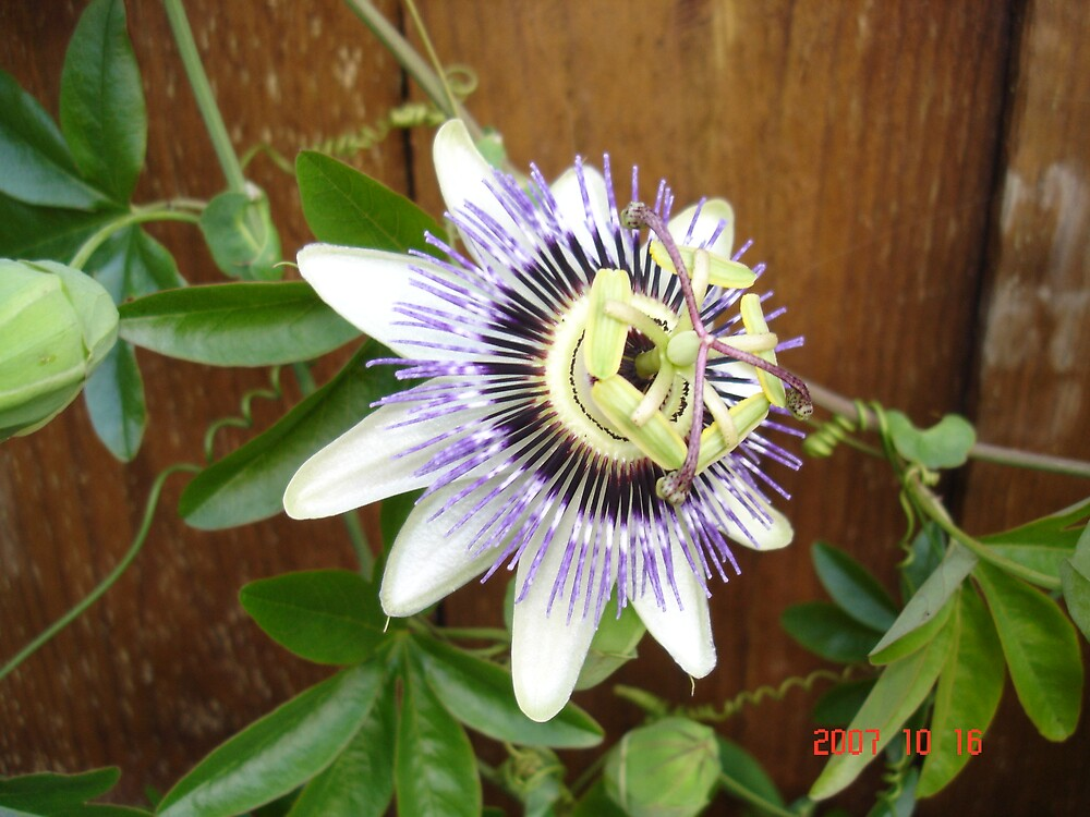 Flower by javedk