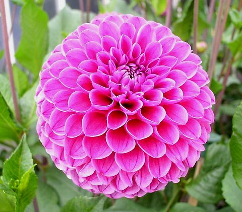 Pink Dahlia by Segalili