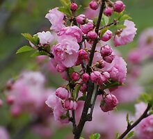blossoms by queent