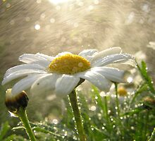 Daisies in the Mist by geoff curtis