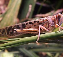 Sad Locust by David White