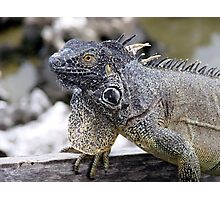 Brown Iguana Photographic Print