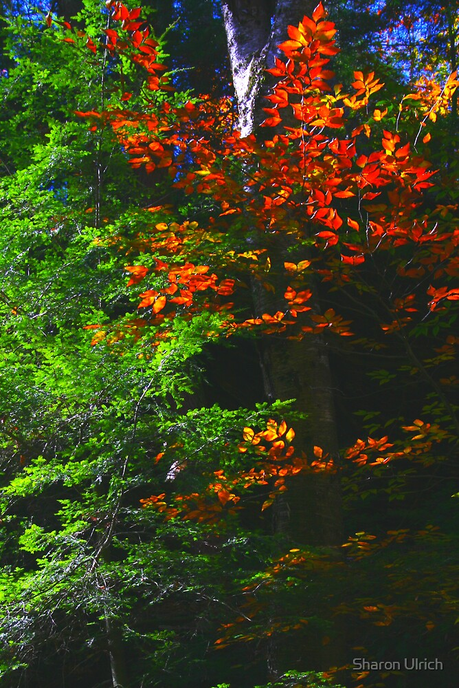 Flaming Fall Foliage by Sharon Ulrich