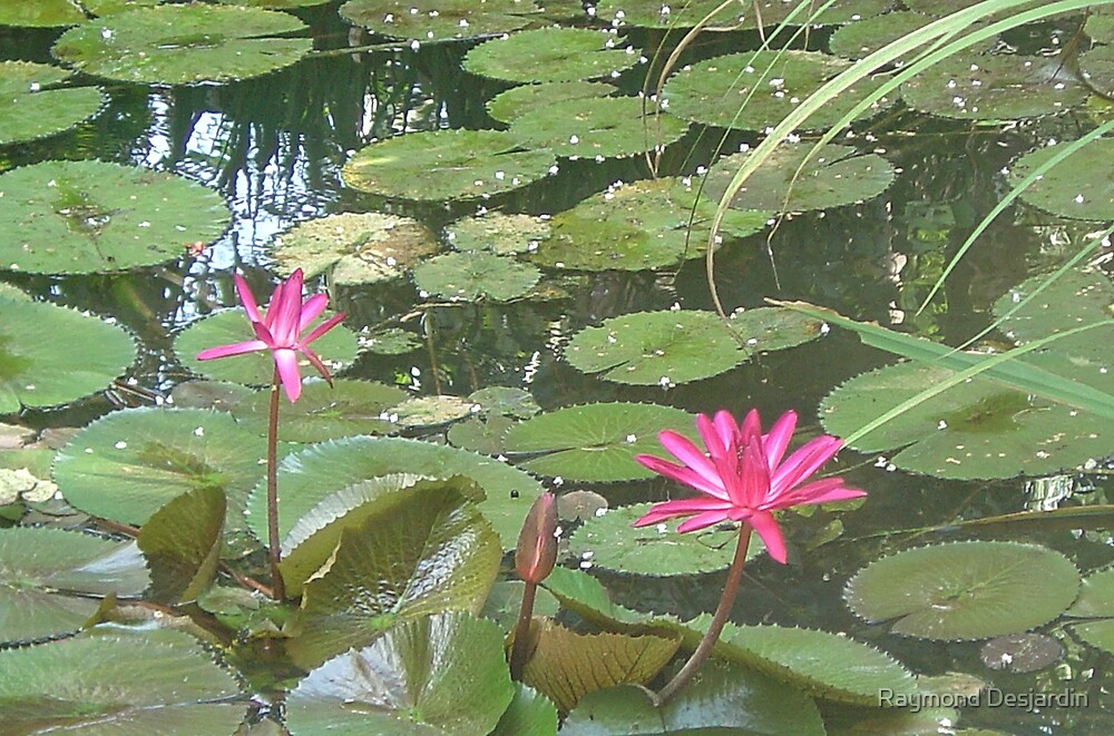 water lilies  by Raymond Desjardin