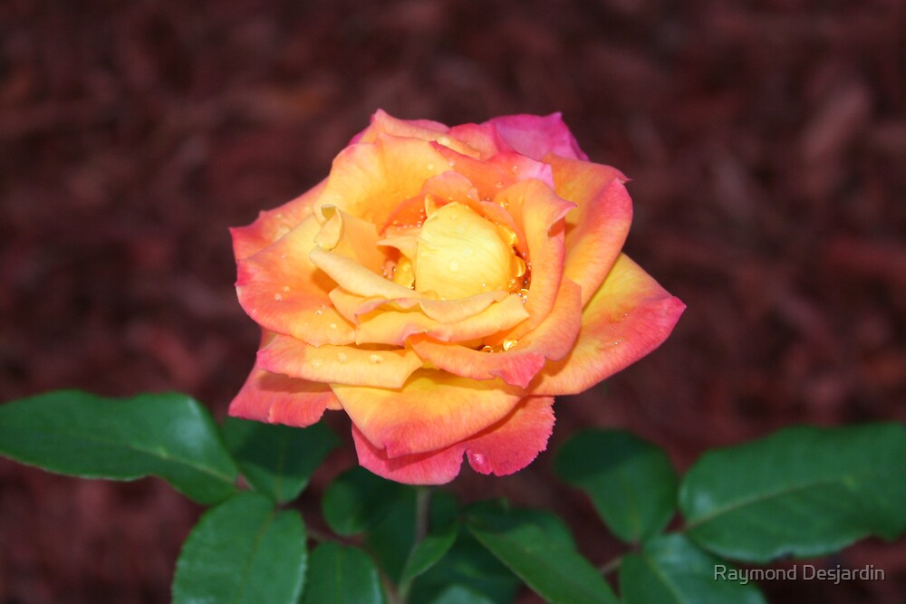 Two toned rose by Raymond Desjardin