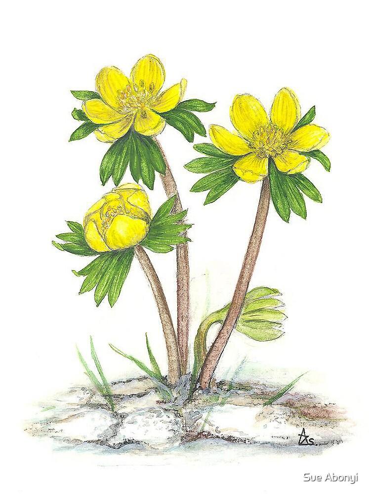 Winter's Sexton - Eranthis hyemalis by Sue Abonyi