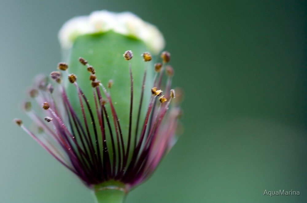 Poppy bud with stamens by AquaMarina