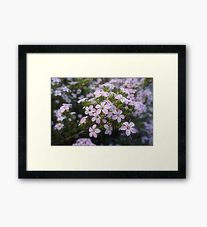 Pink Diosma in Bloom Framed Print