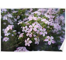 Pink Diosma in Bloom Poster