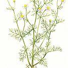 Hungarian Chamomile - Matricaria chamomilla by Sue Abonyi