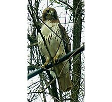 Chicken Hawk Photographic Print