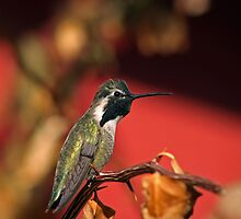 Perched Hummingbird by Daniel J. McCauley IV