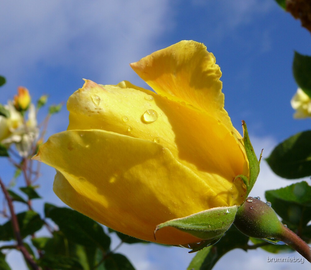 Yellow rose with raindrops by brummieboy