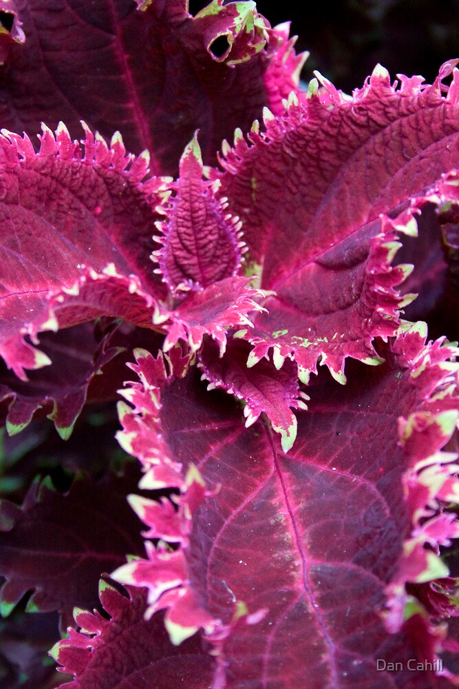 Red Coleus by Dan Cahill