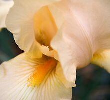 Peach Iris by Dan Cahill