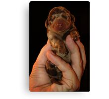 Very Miniature Dachsund Canvas Print