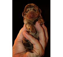 Very Miniature Dachsund Photographic Print