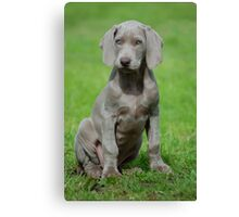 Weimaraner Puppy Canvas Print