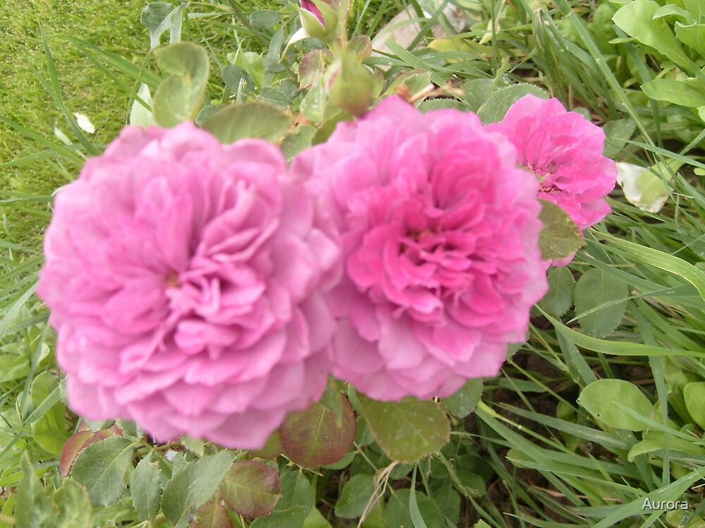 Pink rose trio by Aurora