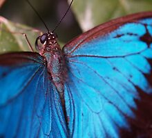 Ulysses Butterfly by Jo  Young