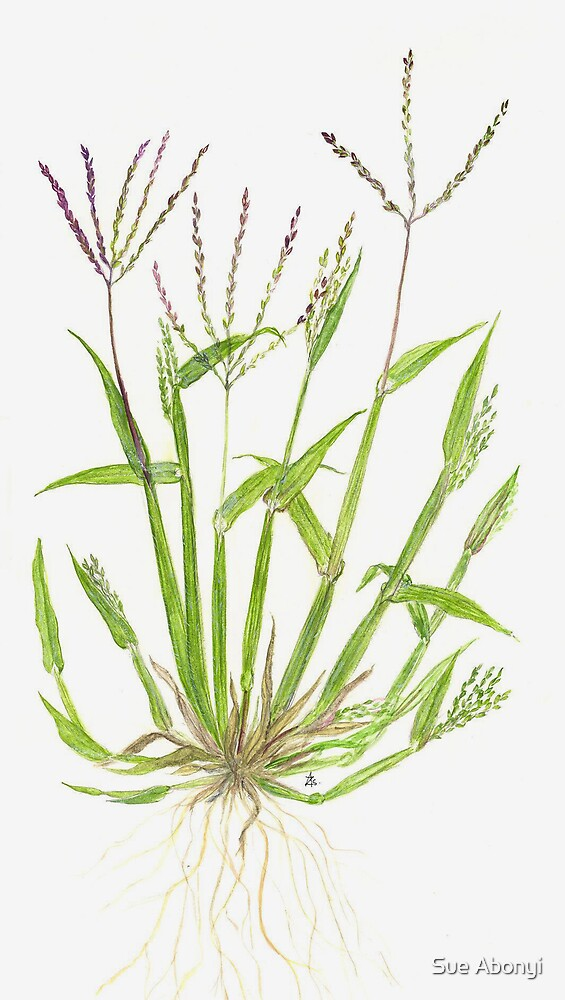 Hairy Crabgrass - Digitaria sanguinalis by Sue Abonyi