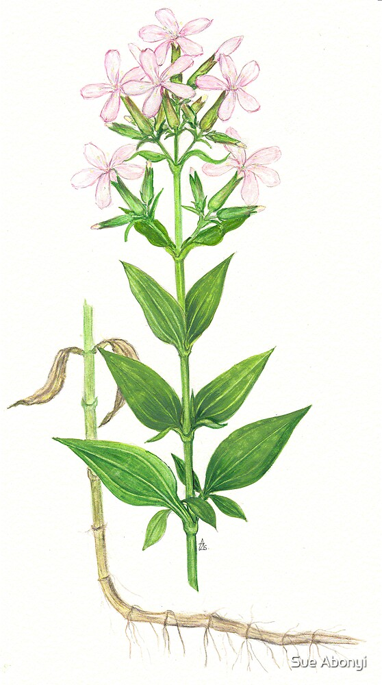 Bouncing Bet - Saponaria officinalis by Sue Abonyi