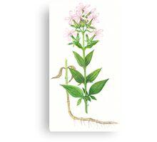 Bouncing Bet - Saponaria officinalis Canvas Print
