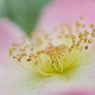 Sparries Hoop Rose by AquaMarina