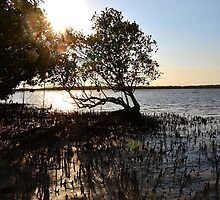 Mangrove Sunset by Woodgate