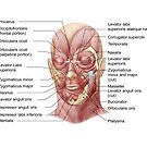 Facial muscles of the human face (with labels). by StocktrekImages