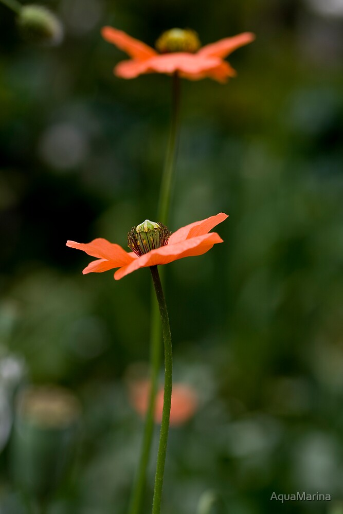 Tall Poppy by AquaMarina