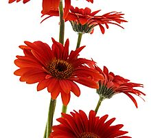 Red Gerberas by Ann Garrett