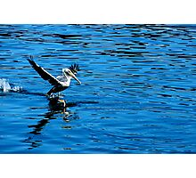 Look Out! Pelican Going In Photographic Print