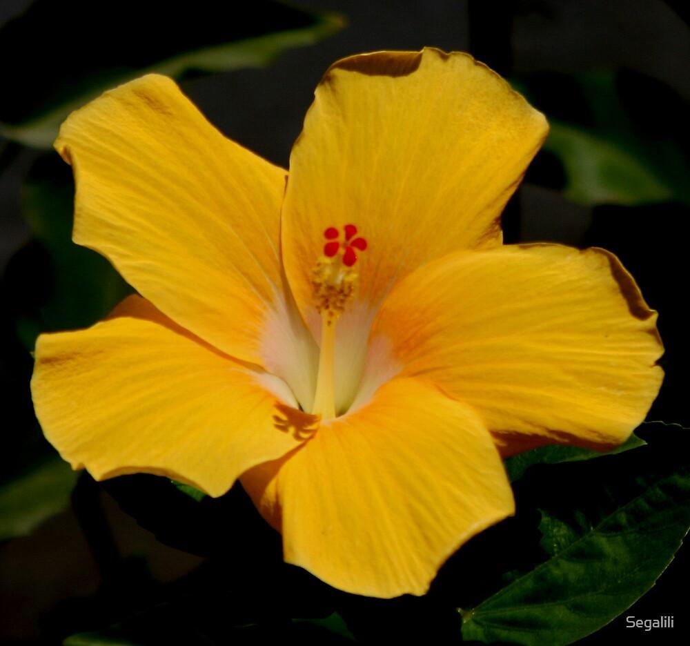 Yellow Hibiscus by Segalili